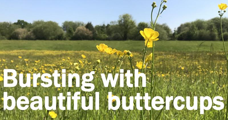Bursting with beautiful buttercups