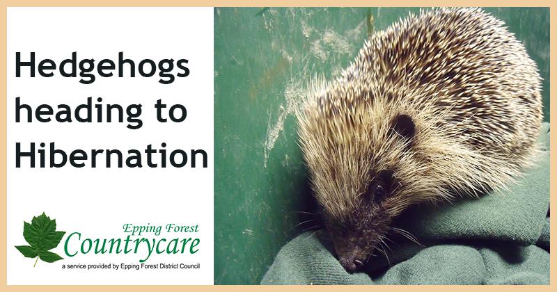 Hedgehogs heading to hibernation