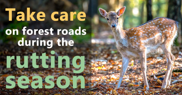 Take care on forest roads during the rutting season