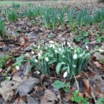 Snowdrops in Epping Forest