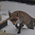 Fox walking up the stairs in the snow