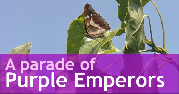 A parade of Purple Emperors
